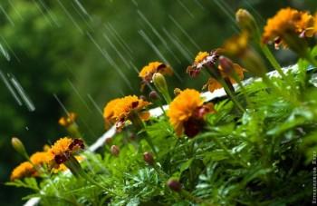 Чорнобривці на дощі