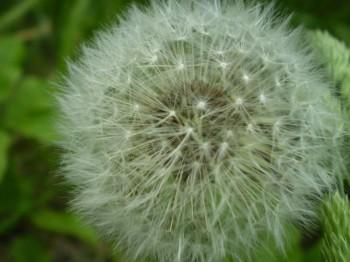 Куди подівся цвіт кульбаби…