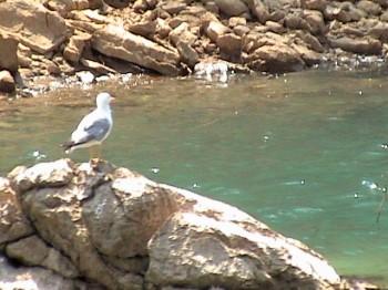 Синяя чайка