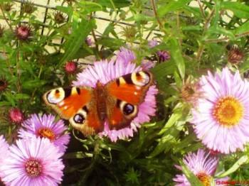 Метелики барвисті