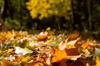 Сум кленових листочків