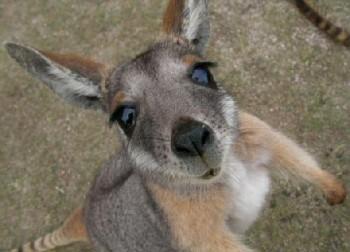 Про кенгуру