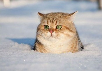 Котячі пристрасті