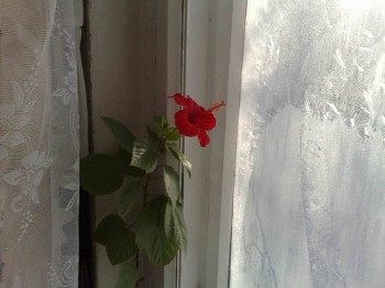 Квітка за вікном