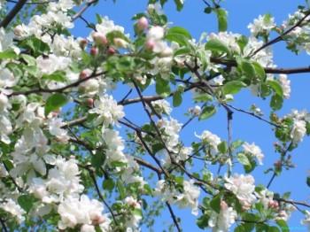 Ти наснишся мені ніжним сном яблуневого цвіту...