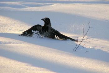Зимова ворона