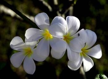 Біла орхідея